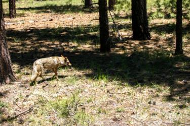Prärievarg eller Coyote (Canis latrans)