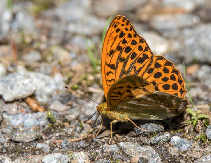 Skogspärlemorfjäril,Argynnis adippe