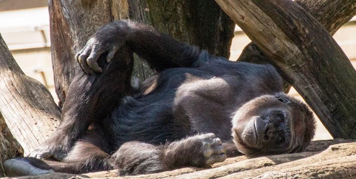 Västlig låglandsgorilla