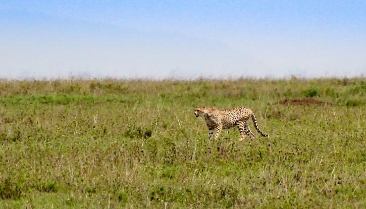 Geparden smyger mot bytet
