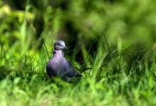 Mörk turturduva (Streptopelia lugens)