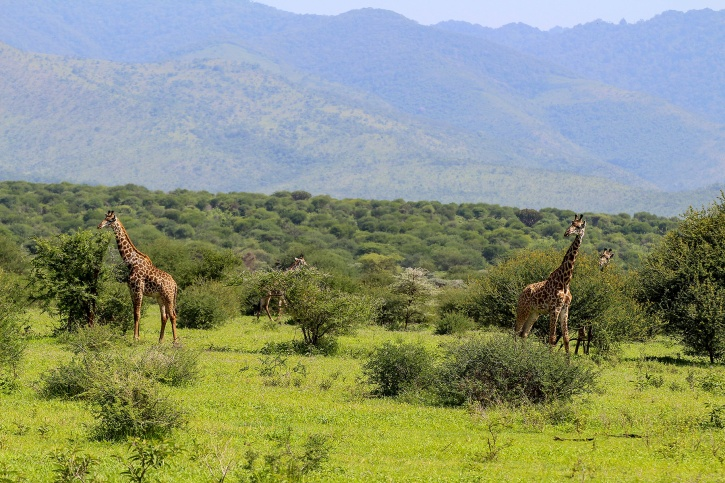 Giraff(Giraffa camelopardalis)