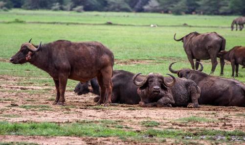 Afrikansk buffel (Syncerus caffer)