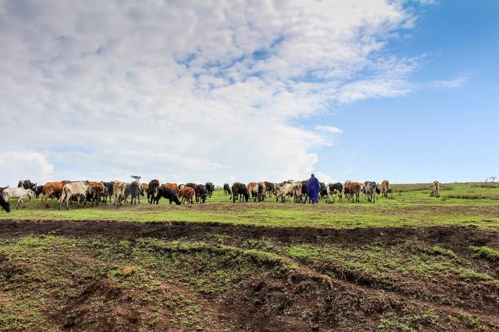 Massajherde med sin boskap