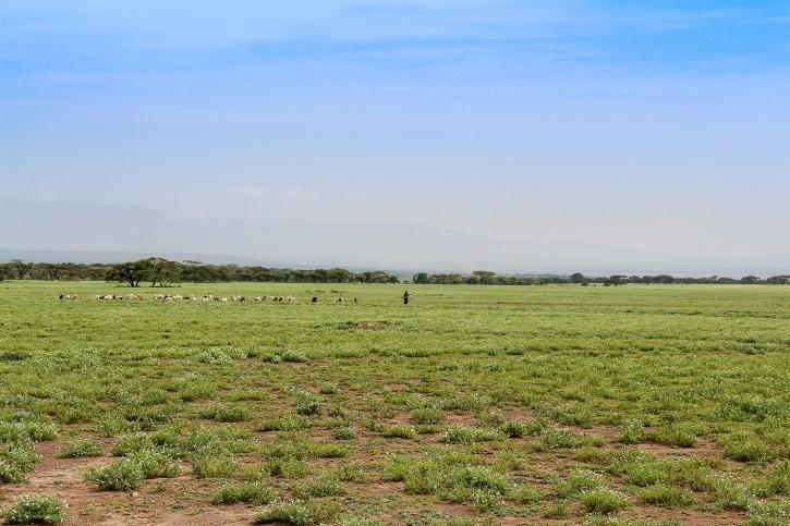 Massajherdarna vallar sina flockar i det karga landskapet