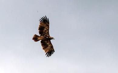 Savannörn  (Aquila rapax)
