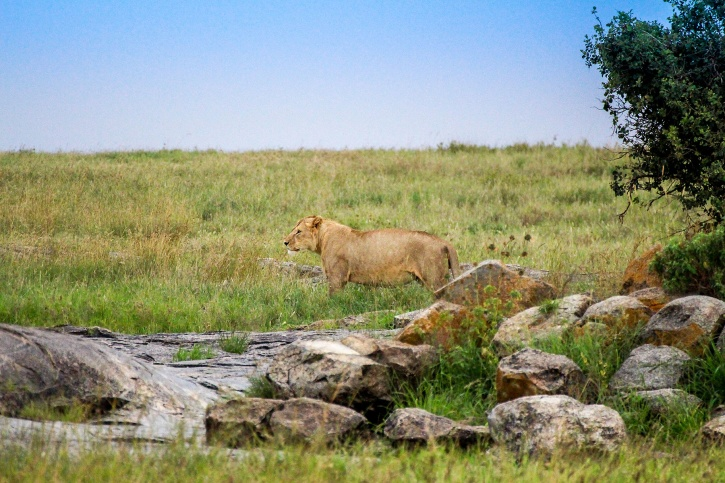 Gravid lejonhona