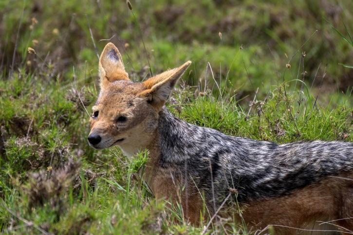 Schabrakschakal (Canis mesomelas)