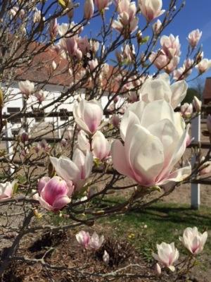 Magnolian blommar vackert utanför stallet  på Ericsberg
