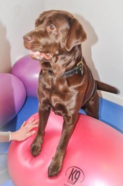 Stabilitetsträning för hundar, coreträning för hundar, sjukgymnastik för hundar, fysioterapi för hundar, hundrehab, halland, halmstad, varberg, falkenberg, laholm, båstad