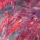 japanskblodlönn Garnet