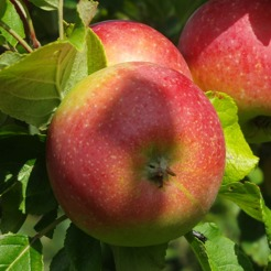 Huvudbildfruktträd