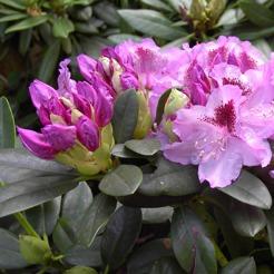bild rhododendron