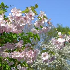 huvudbild träd japanskt prydnadskörsbär