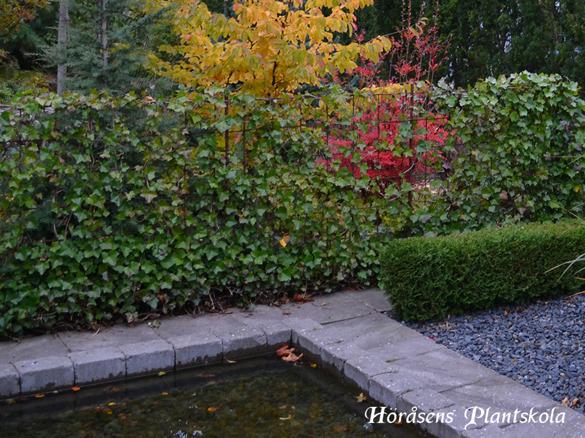Häckar Halland – stort sortiment av häckar/häckväxter på Höråsens plantskola & växtbutik i Tvååker mitt i Halland mellan Falkenberg, Varberg & Ullared