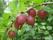 Bärbuskar krusbär