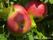 Fruktträd äpplen