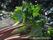 Köksväxter Rabarber