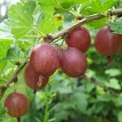 Huvudbild bärbuskar krusbär