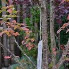 träd kurilierkörsbär