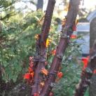 träd glanskörsbär