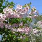 träd japanskt prydnadskörsbär