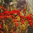 bild buskar höstfärg ros
