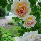 Ros Frühlingsduft