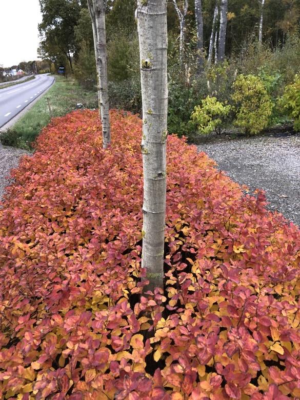 Öppettider 2016 Höråsens plantskola i Tvååker,mitt i Halland mellan Falkenberg, Varberg och Ullared har ett stort sortiment av prydnadsbuskar