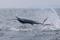 rompin-jumping-sailfish-017