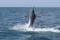 rompin-jumping-sailfish-026