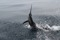 rompin-jumping-sailfish-011
