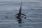 rompin-jumping-sailfish-013