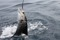 rompin-jumping-sailfish-030
