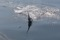 rompin-jumping-sailfish-040