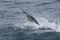 rompin-jumping-sailfish-033
