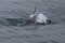 rompin-jumping-sailfish-038