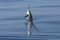 jumping sailfish 065