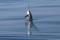 jumping sailfish 065
