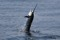 jumping sailfish 066