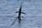jumping sailfish 067