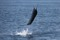 jumping sailfish 069