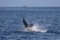 jumping sailfish 071