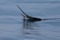 jumping sailfish 077