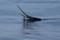 jumping sailfish 077