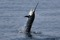 jumping sailfish 079