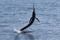 jumping sailfish 080