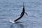 jumping sailfish 080