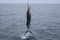 jumping sailfish 095