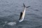 jumping sailfish 097